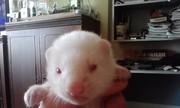 продается хорек-альбинос
