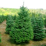 Организация реализует живую новогоднюю елку оптом