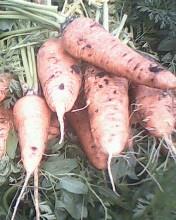 постоянно продаём свежий морковь роял шансон голландия