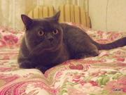 Шотландский кот страйт приглашает на вязку кошечек