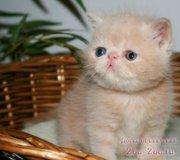 Шикарные котята - экзоты ! Экстремалы ! Рыжие,  черные,  серебр. мрамор