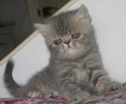 Экзотические котята (персидские короткошерстные)