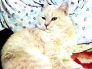 Чудесные крохи-котики(скоттиш-страйт+сибирячка)