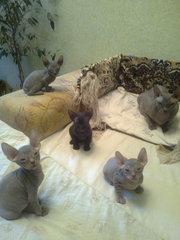 Продам котят Донской сфинкс