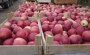 Яблоко от производителя,  10 000 тонн сезон,  более 15-ти сортов