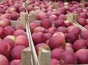Яблоко 10 000 тонн,  сезон