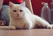Белая молодая кошечка в добрые руки
