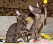 Котята корниш рекс шоколадного окраса