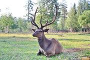 Гарантированная охота на кабана и оленя